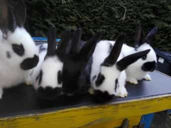 3d5311abaf ❤ abholung nicht Kleinanzeigen (Kaninchen & Hasen) kaufen ...